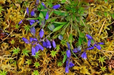 Common Milkwort 1 LCampbell.jpg