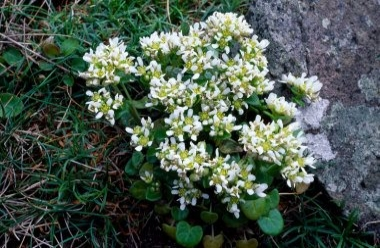 Common Scurvy Grass 1 LCampbell.jpg