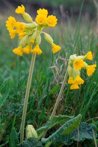 Cowslip 2 LCampbell.jpg