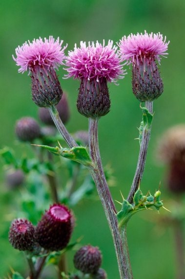 Creeping Thistle 1 LCampbell.jpg
