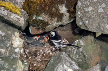 Pied Wagtail 1 LCampbell.jpg