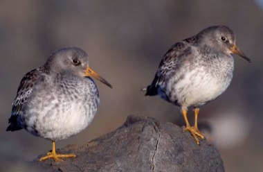 Purple Sandpiper 1 LCampbell.jpg