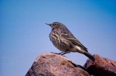 Rock Pipit 1 LCampbell.jpg