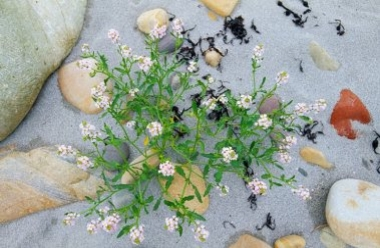 Sea Rocket 1 LCampbell.jpg