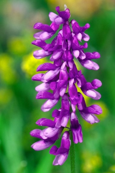 Tufted Vetch 1 LCampbell.jpg