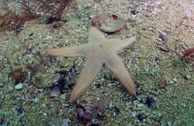 astropecten relaxing crop.jpg