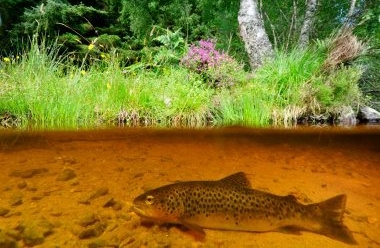 brown trout 2dLCampbell.jpg