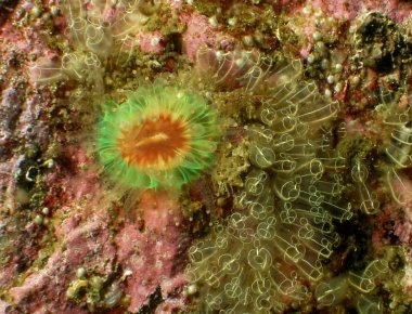 cup coral with lightbulb tunicates.jpg