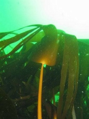 kelp with new growth.jpg