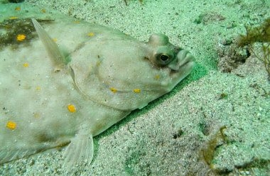 plaice head.jpg