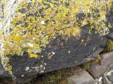yellow and black lichens.jpg